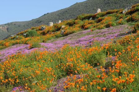 singly: California coastal hillside covered with colorful wildflowers