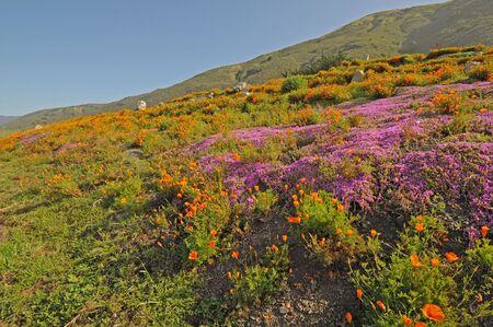 singly: purple and orange wildflowers cover coastal hillside Stock Photo