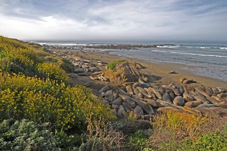 laze: dozens of Elephant Seals laze in California sun Stock Photo