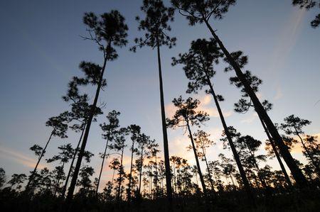 Everglade Slash Pines tegen hemel met roze wolken  Stockfoto