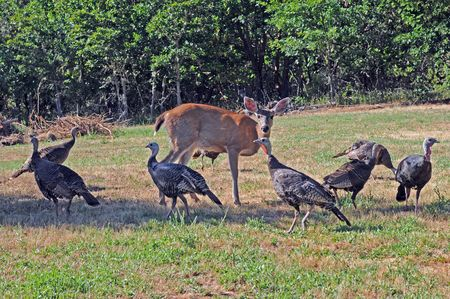 wild turkeys cluster around deer on grassy area Stock Photo
