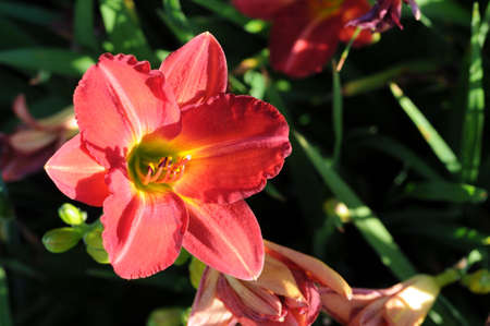 stipe:  red wildflower flower with yellow stipe on petals Stock Photo