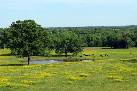 cows around pond amid wildflowers in meadow