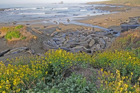 laden: Elephant Seals snuggle along wildflower laden coastline