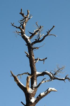 denuded: snow covered denuded tree against dark blue sky