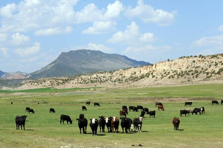 row of cattle in green field set against mountains Stock Photo - 15305270