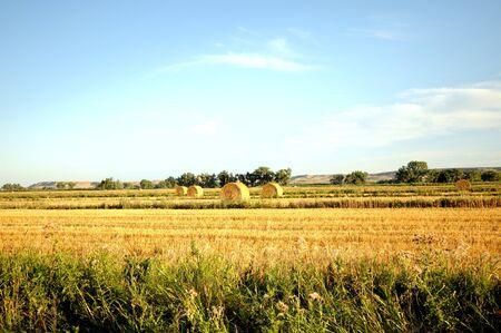 hay field: paesaggio sereno di campo di fieno dorato con verde fronting