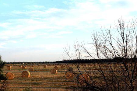 field of numerous haystacks in golden sunset light
