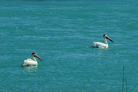 leisurely: two pelicans swimming leisurely in turquoise water Stock Photo
