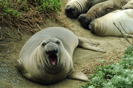 Elephant Seal with mouth open looking up at camera Banco de Imagens