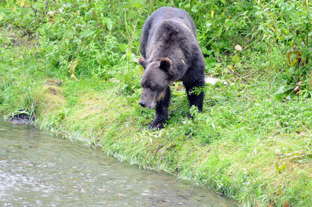 unbound: Alaskan grizzly bear looks for salmon from bank of river