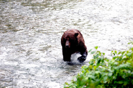 unbound: Grizzly bear searches for salmon at Fish Hyder, Alaska