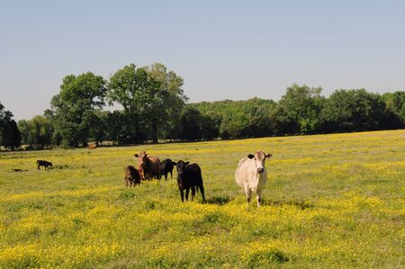 shrubbery: Several cows coming toward foreground with one white cow in the lead across a spring field of yellow wildflowers with green trees and shrubbery in the background against a blue sky.