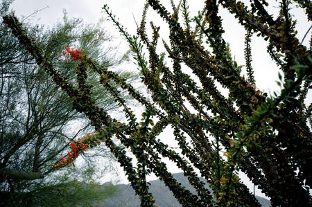 ocotillo: Ocotillo, with its bright red blossom some say pink long tendrils or canes, sometimes reaching up to 20 feet, are found chiefly in Sonoran or Chihuahuan deserts.  Popular in xeriscapes and rock garden in warm climates, they have become popular in traditio Stock Photo