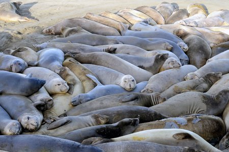 Pod of gray Elephant Seals crammed together on sandy beach, some with eyes open and some closed.