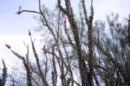 tendrils: Colorful Ocotillo against blue-gray sky, stands tall with its bright red blossom some say pink and  long tendrils or canes. The plant, not really a cactus,  and sometimes reaching up to 20 feet, are found chiefly in Sonoran or Chihuahuan deserts. Stock Photo