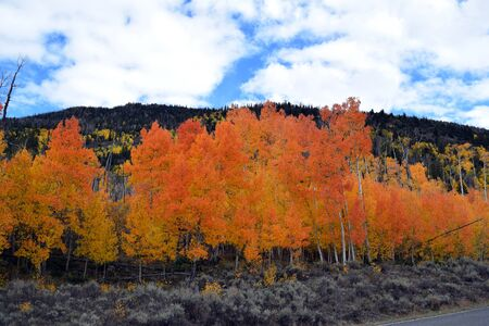 Orange and gold Aspens set against green mountainside with bright blue sky mixed with white clouds in this autumn setting.