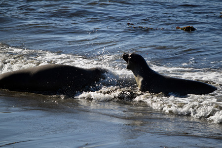 Two elephant seals, one with its mouth open, frolic at oceans edge in frothy waves along Californias Highway 1 on a sunny day.