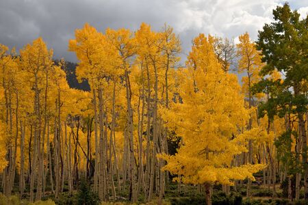 Bright gray sky sheds light on a golden colored aspen grove in early autumn, witih hillside in background Stock Photo