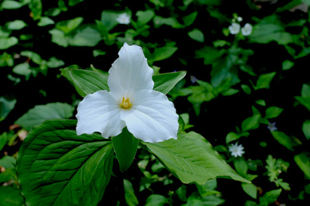 Single white Large-Flowered Trillium, Trillium grandiflorum, stands out against dark green foilage on the Natchez Trace,Tennessee.