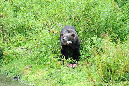 Old grizzlly bear (ursidae) eating a salmon stands in tall green grass by edge of river in Alaska during the summer run.
