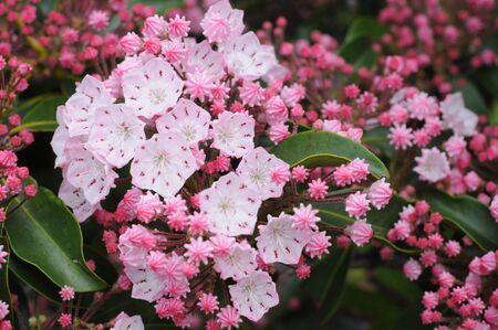 Vivid  to pale pink Mountain Laurel (Kalmia latifolia), closeup on the Blue Ridge Parkway, Tennessee makes for colorful spring travel.