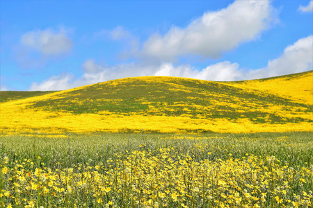 Deep blue sky with puffy clouds sets off a  landscape of meadow and hills covered in vibrant yellow wildflowers.
