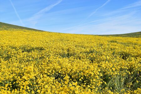 Bright yellow Hillside Daisies grow thick and lush during seasonal outburst of wildflowers along highway 58 in California. Stock Photo