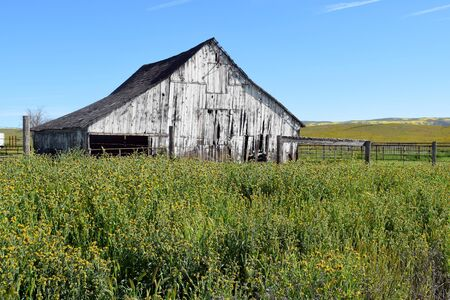 uninhabited: Old white wooden  barn surrounded by yellow spring wildflowers backed by clear blue skies.