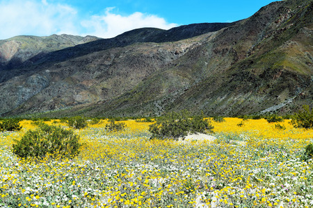 Abundant yellow wildflowers cover Anza Borego, California desert floor and creep up mountains in background with blue skies overhead. 스톡 콘텐츠