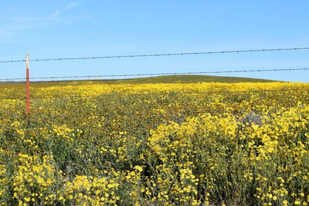 of yesteryear: Barbed wire fence runs across field of thick yellow wildflowers at Carrizo Plains National Monument, California.