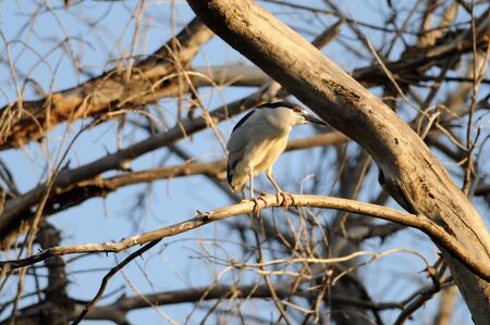 Black-crowned Night Heron stands on lookout atop one limb of a many brown branched tree.