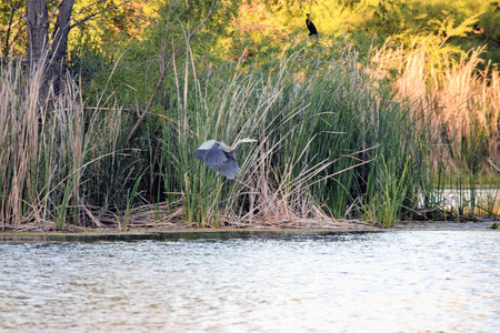 gray herons: Great Blue Heron in flight over blue lagoon and against colorful tall reeds in background. Stock Photo