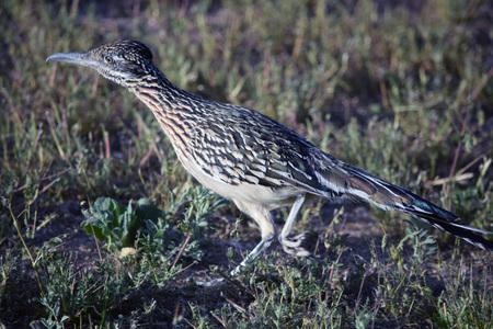 Greater Roadrunner, the largest member of the cuckoo bird family, streaks across grassy area.