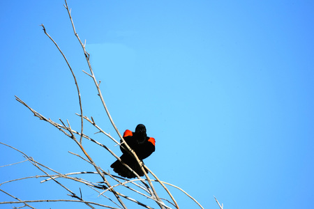 Red-winged blackbird, feeling confident, puffs up its chest while sitting on a tree branch against blue sky.