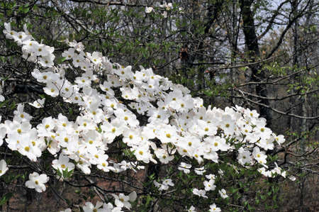 adds: Flowering Dogwood tree adds beauty in springtime along the Natchez Trace Parkway in the U.S.A.