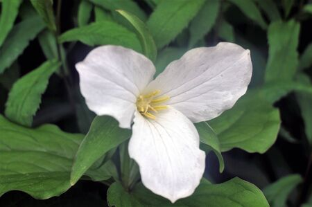 Bright Trillium wildflower with yellow tipped stamen shows its colors on the Souths Blue Ridge Parkway in springtime.