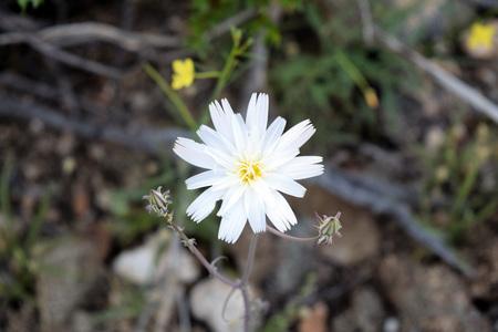 Bright white Desert Chicory makes a spring splash in the desert near Palm Springs, California.