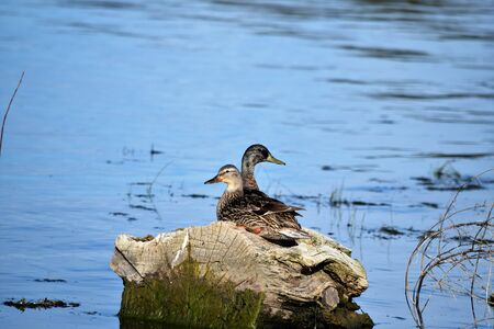 organisms: Mallard pair sits on cozy water-logged tree stump in shallow deep blue lake water.