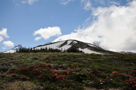 Scarlet paintbrush wildflowers on hillside with background of Mt. Rainier, Washington, behind clouds and blue skies