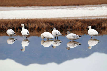 Snow geese reflected in shallow desert pool of water at Tecopa Hot Springs, California