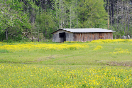 Field of yellow wildflowers surrounds old wooden barn sitting by a green woodland in springtime.