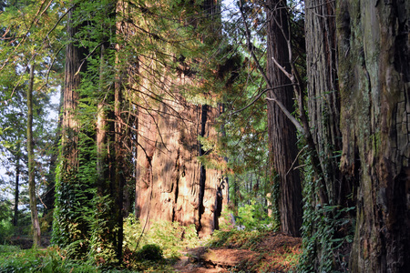 Licht benadrukt grote houtbomen op Avenue of the Giants, State Route 254, Californië. Stockfoto