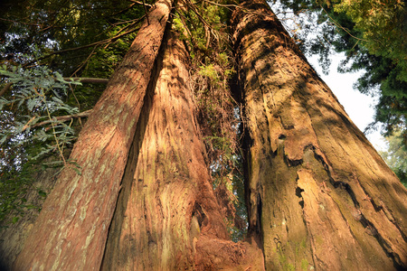Ancient preserved redwood trees on Avenue of the Giants, State Route 254, Northern California.