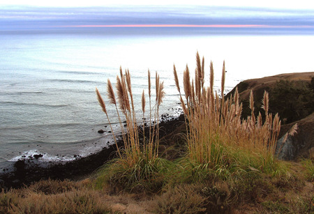 Pampas grass overlooks California coastal cliff with ocean and pink in sky at sunset