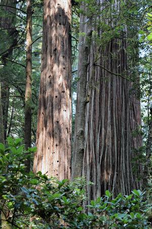 Primordiale roodbomen op de Avenue of the Giants, staat Route 254, Californië staan hoog.