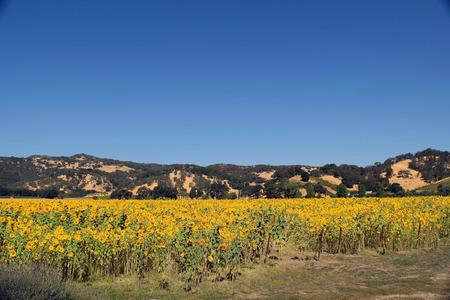 Helder geel zonnebloemgebied bij een wijngaard tegen heuvels in het wijnland van Noord-Californië Stockfoto