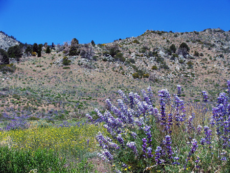 Purple and yellow wildflowers front spring desert hillside with deep blue sky in background. Stock Photo