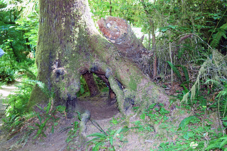 Gnarly Spruce tree with large hole along Oregon's Giant Spruce Trail at Cape Perpetua