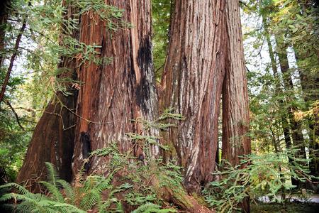 Twee oude redwood-bomen bevinden zich lang bij Jedediath Smith Redwoods State Park, Noordelijk Californië.